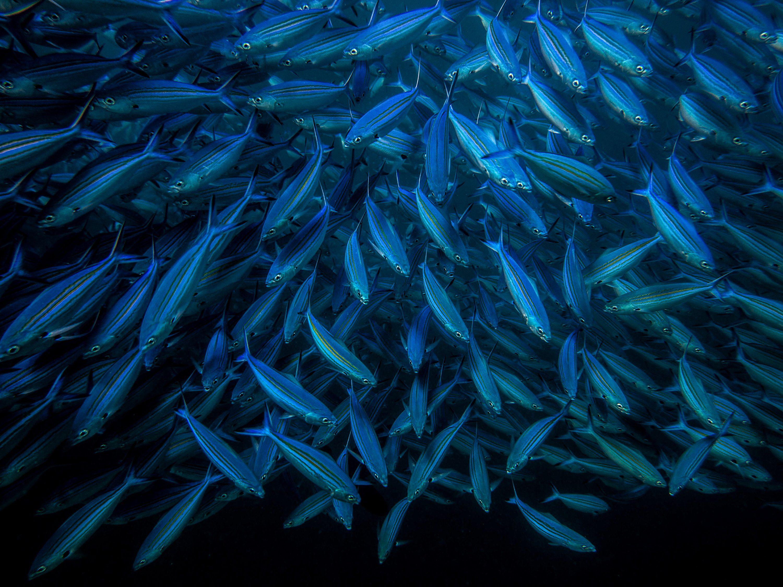 стая, рыбы, подводный мир, Кирпиченкова (Клипп) Евгения