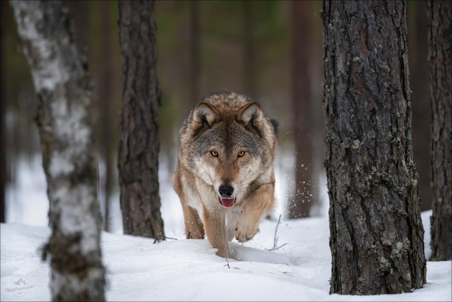 волк, wolf, красная шапочка, беларусь, красный бор, фототур в красный бор, фотоохота, дикая природа беларуси, canis lupus, red riding hood, серый волк, обыкновенный волк, евразийский волк, европейский волк, Влад Соколовский