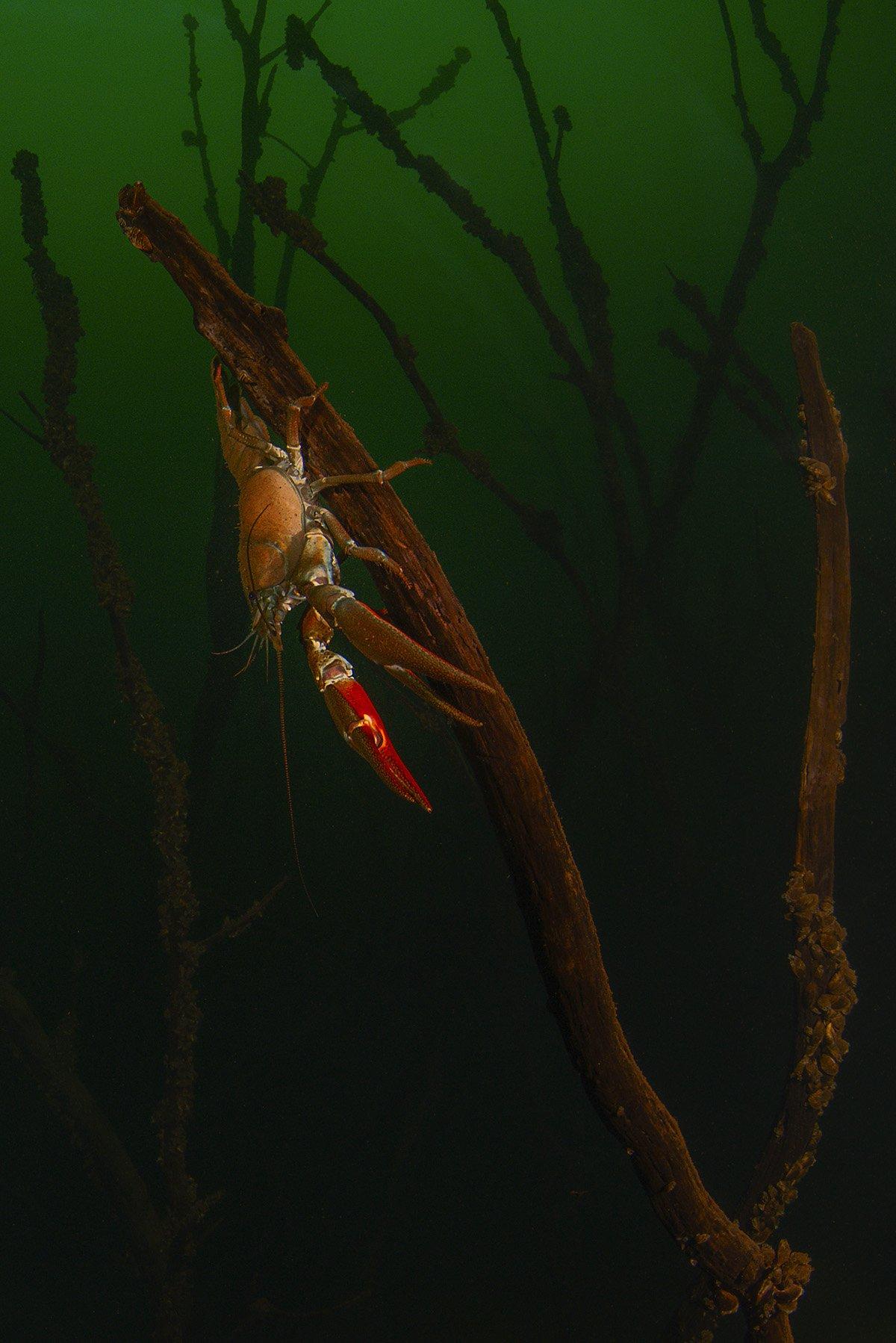 подводный лес, калининград, рак, подводный мир, холодные водоемы, Кирпиченкова (Клипп) Евгения
