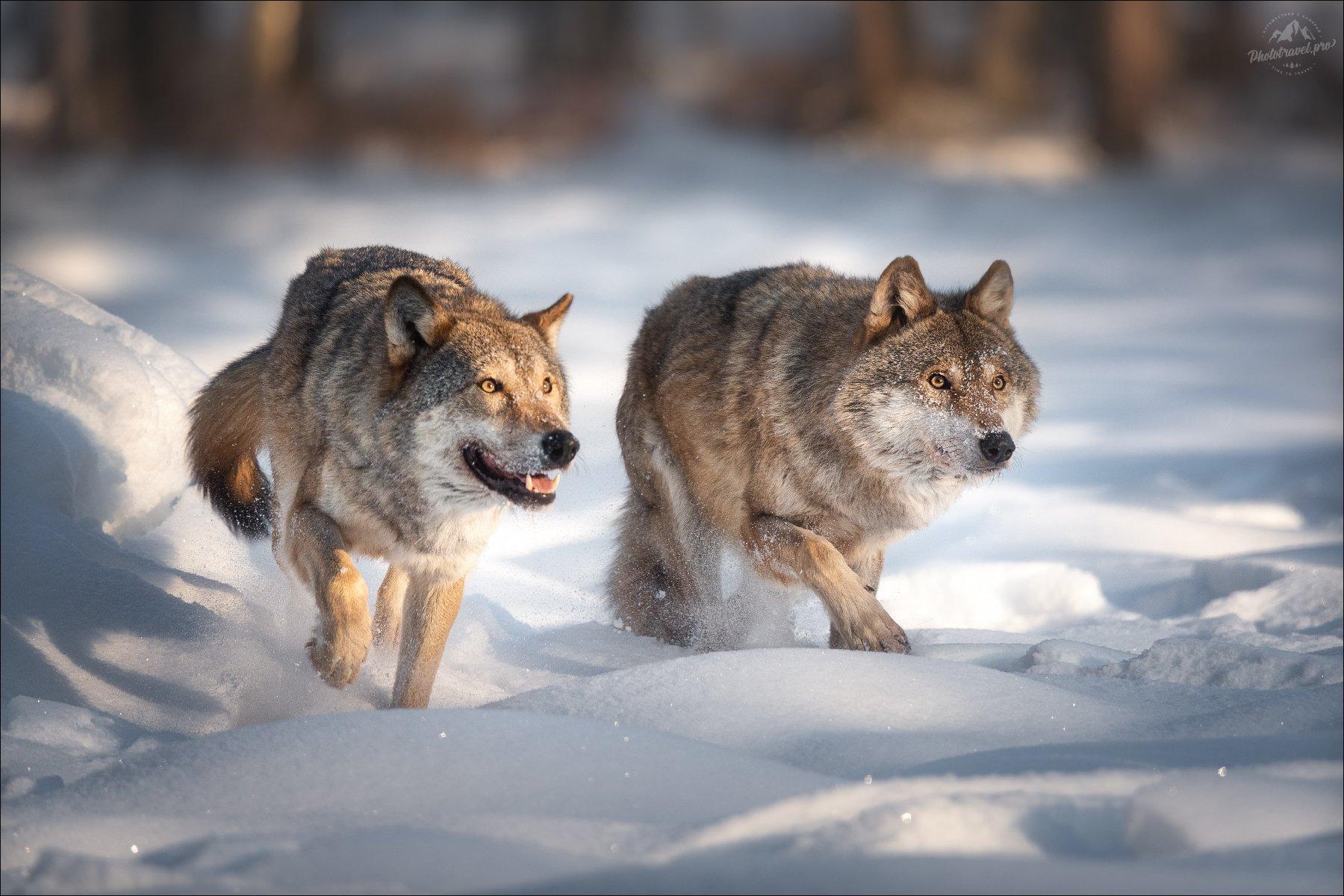 волк, wolf, красная шапочка, беларусь, красный бор, фототур в красный бор, фотоохота, canis lupus, red riding hood, серый волк, обыкновенный волк, евразийский волк, европейский волк, Влад Соколовский