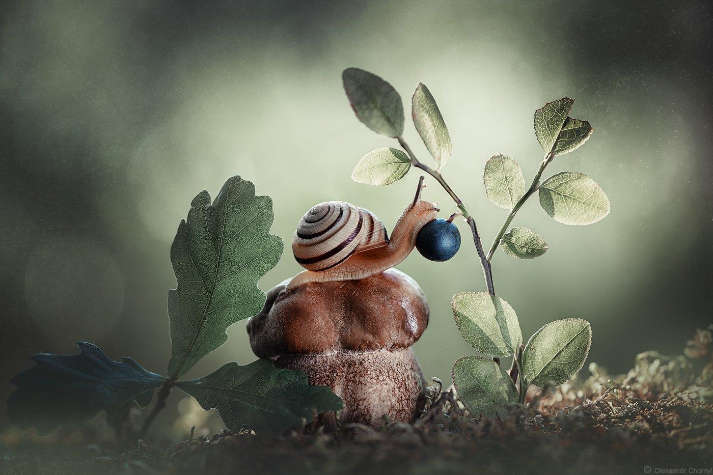 украина, коростышев, лес, лето, сказка, волшебство, гармония, природа, макро, макро мир, черника, ягодка, улитка, грибочек, мох, зеленый фон, боке, фотограф чорный,, Чорный Александр