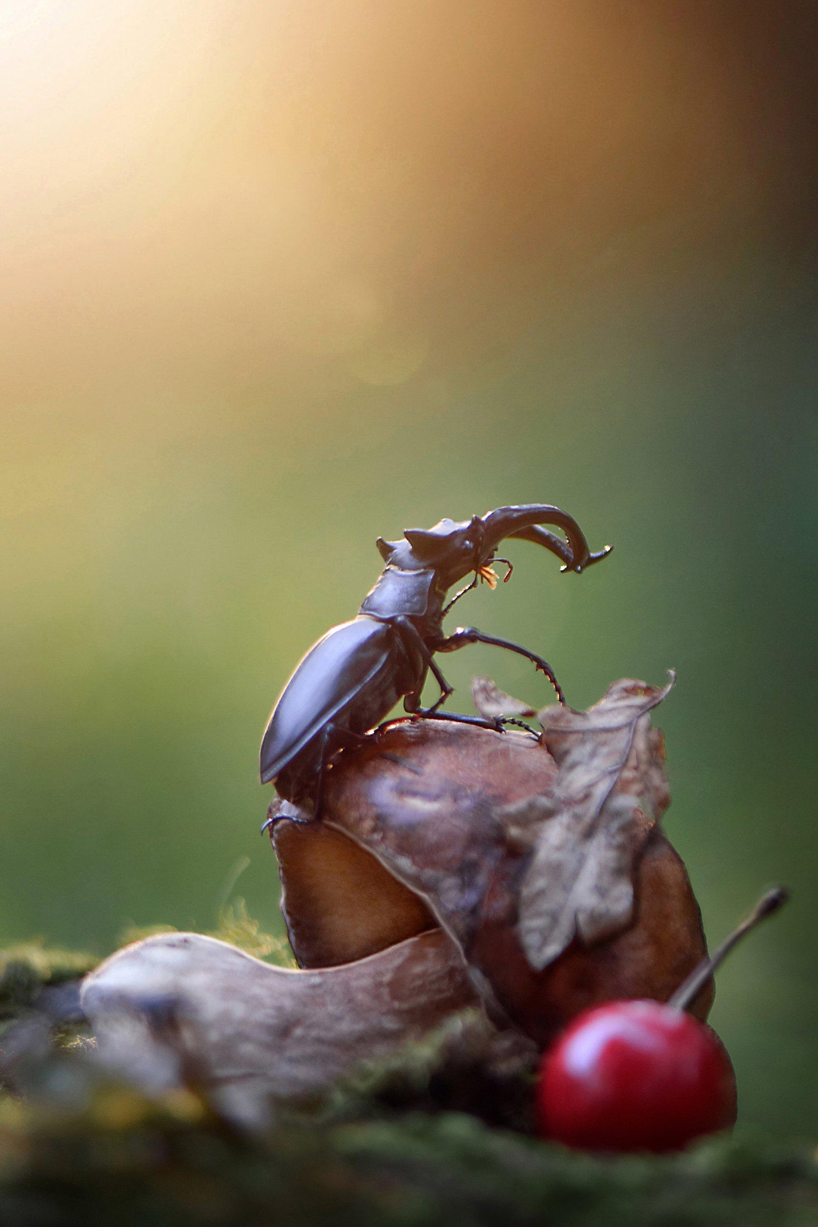 макро, макро фото, жук-олень, жуки, насекомые, вчувствование, макро истории, насекомые,, Быканова Виктория