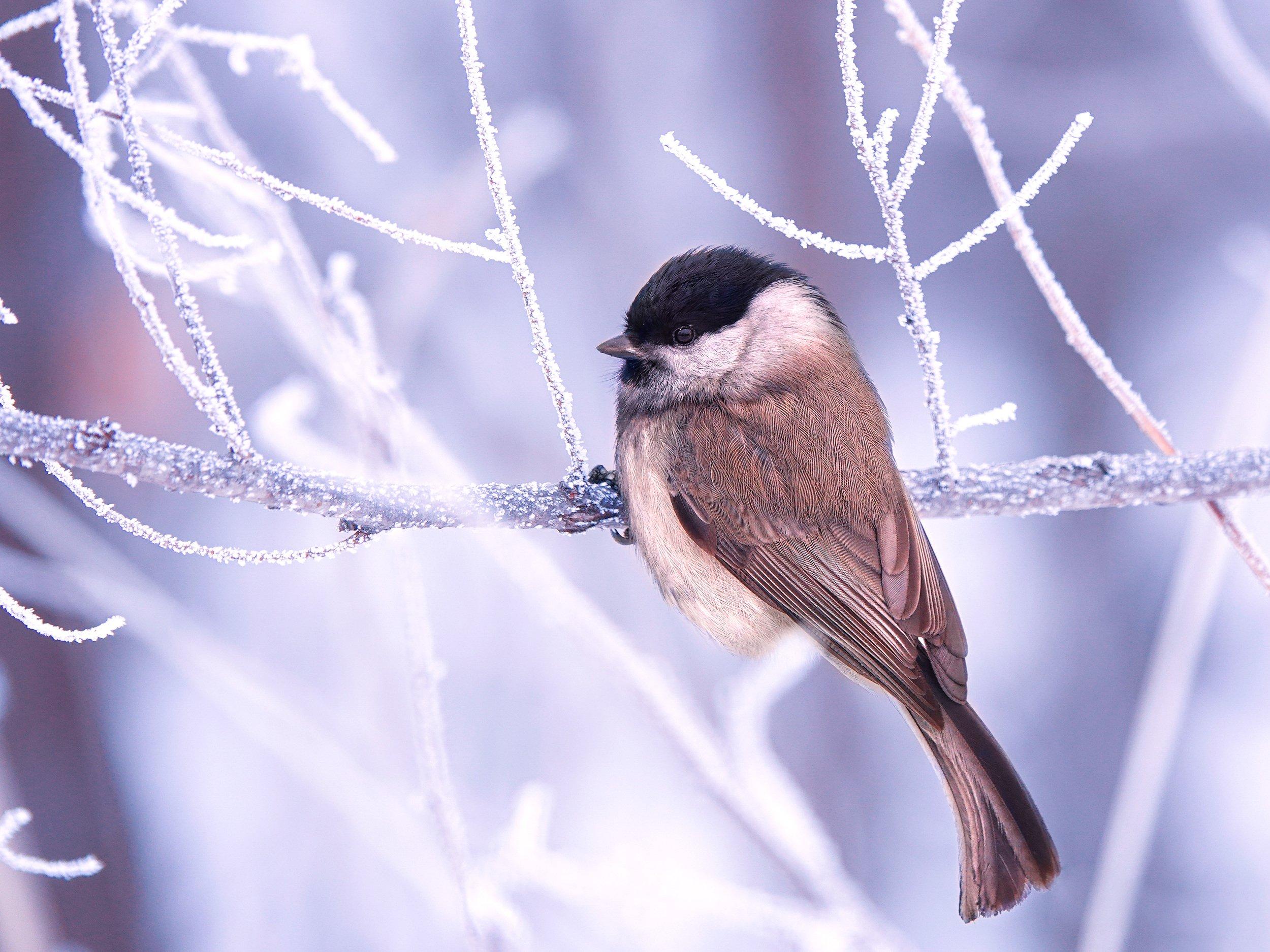 птица, зима, ветки, изморозь., Жабский Игорь