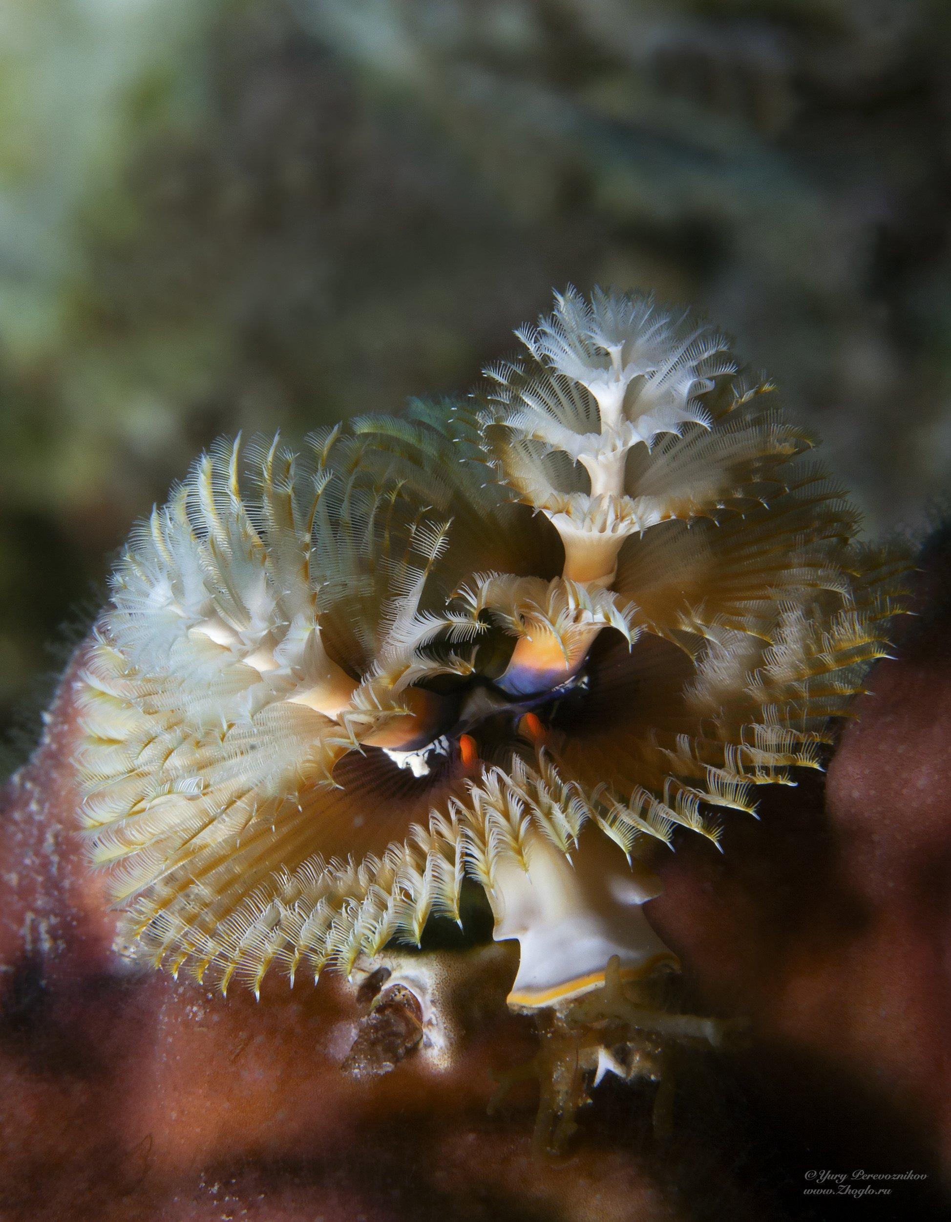 подводный мир фото подводное фото макромир египет хургада , Перевозников Юрий