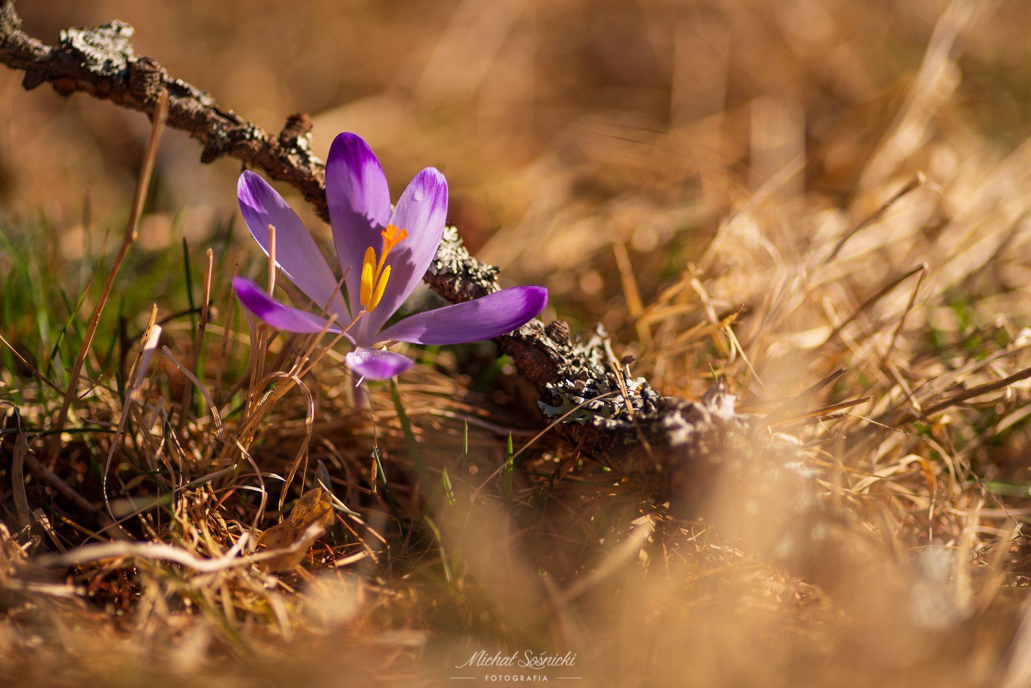 #poland #tree #sunrise #sky #nature #poland #pentax #benro #rock #mountains #spring #flower #crocus #macro, Sośnicki Michał
