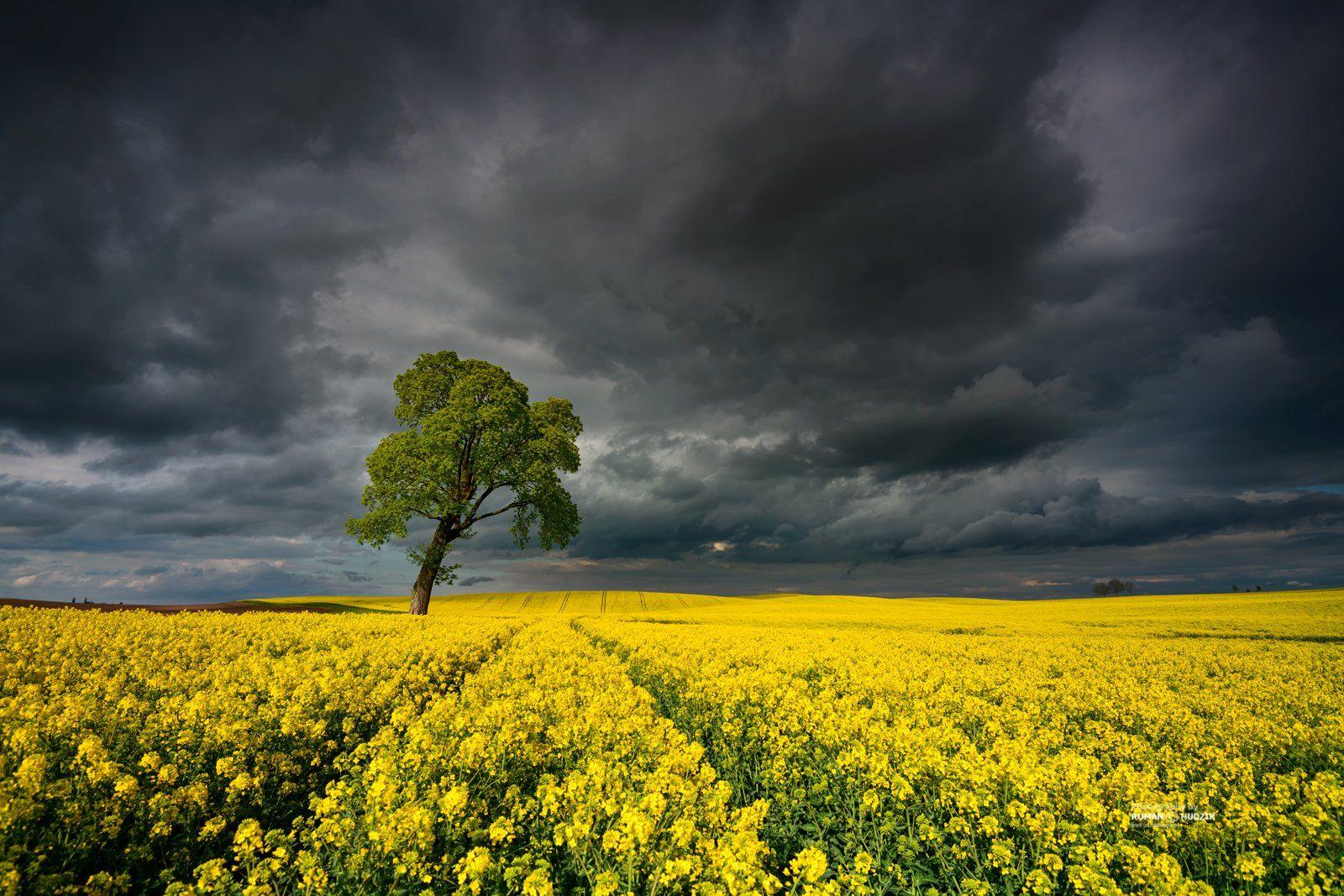 Clouds, landscape, rape, fields, sky, tree, , Hudzik Roman