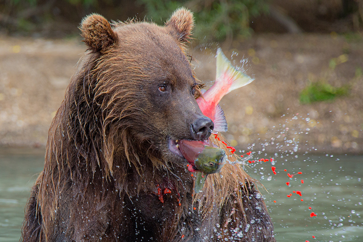 Камчатка, медведь, животные, природа, путешествие, фототур, икра,, Денис Будьков