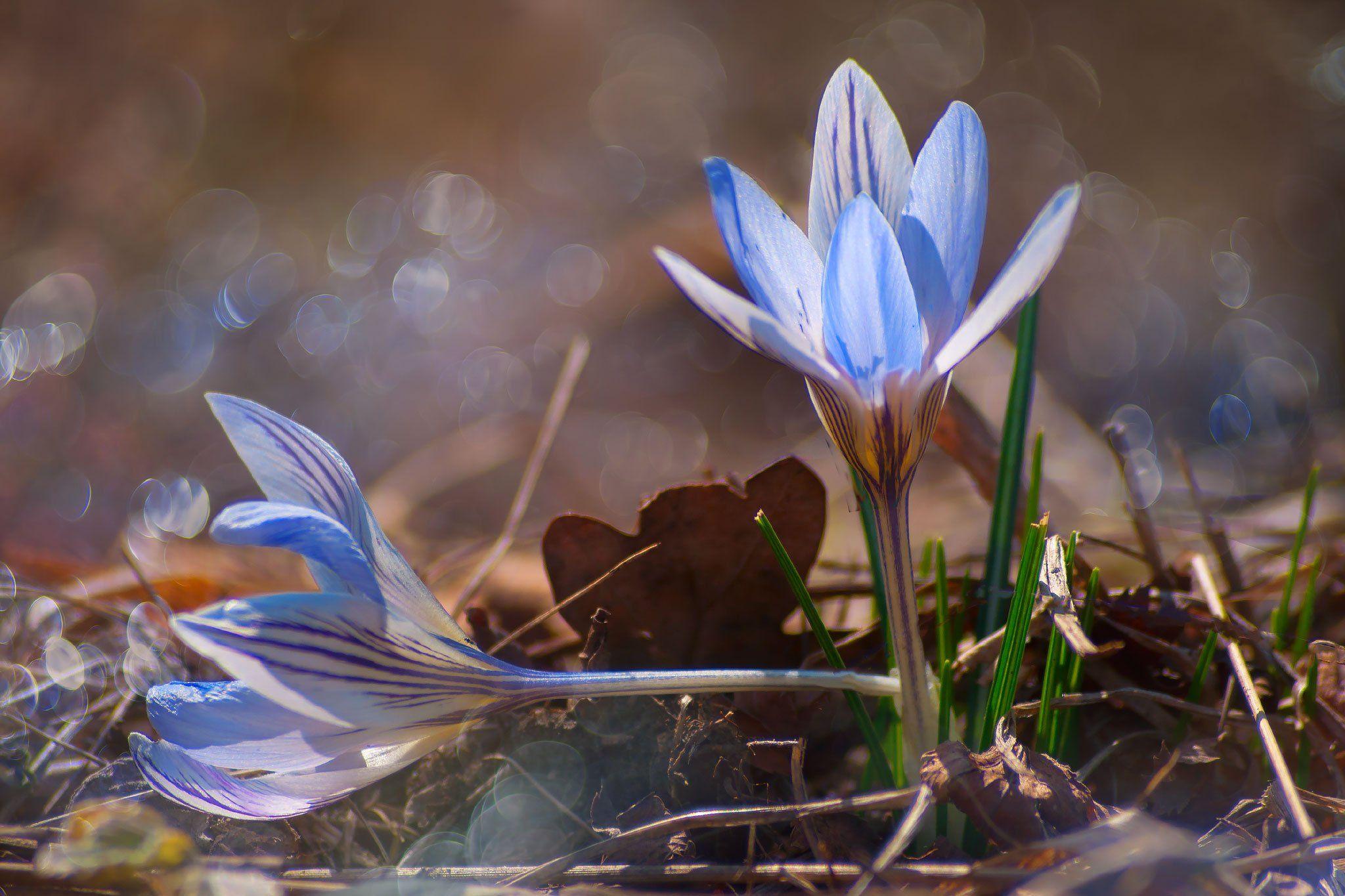 цветы, весенние, крокусы,макро, Елена Брежицкая