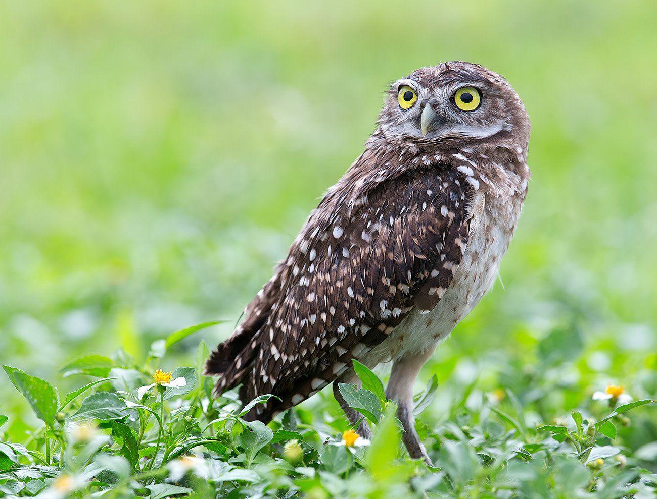 кроличий сыч, florida, burrowing owl, owl, флорида,сыч, Etkind Elizabeth