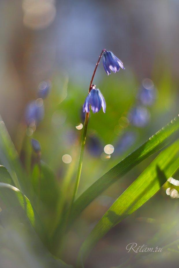 весна, spring, цветы, цветок, подснежники, подснежник, весенние цветы, первоцветы, flowers, flower, blossom, bloom, перелеска, перелески, боке, bokeh, макро, macro, closeup, гелиос, helios, Ритам Мельгунов