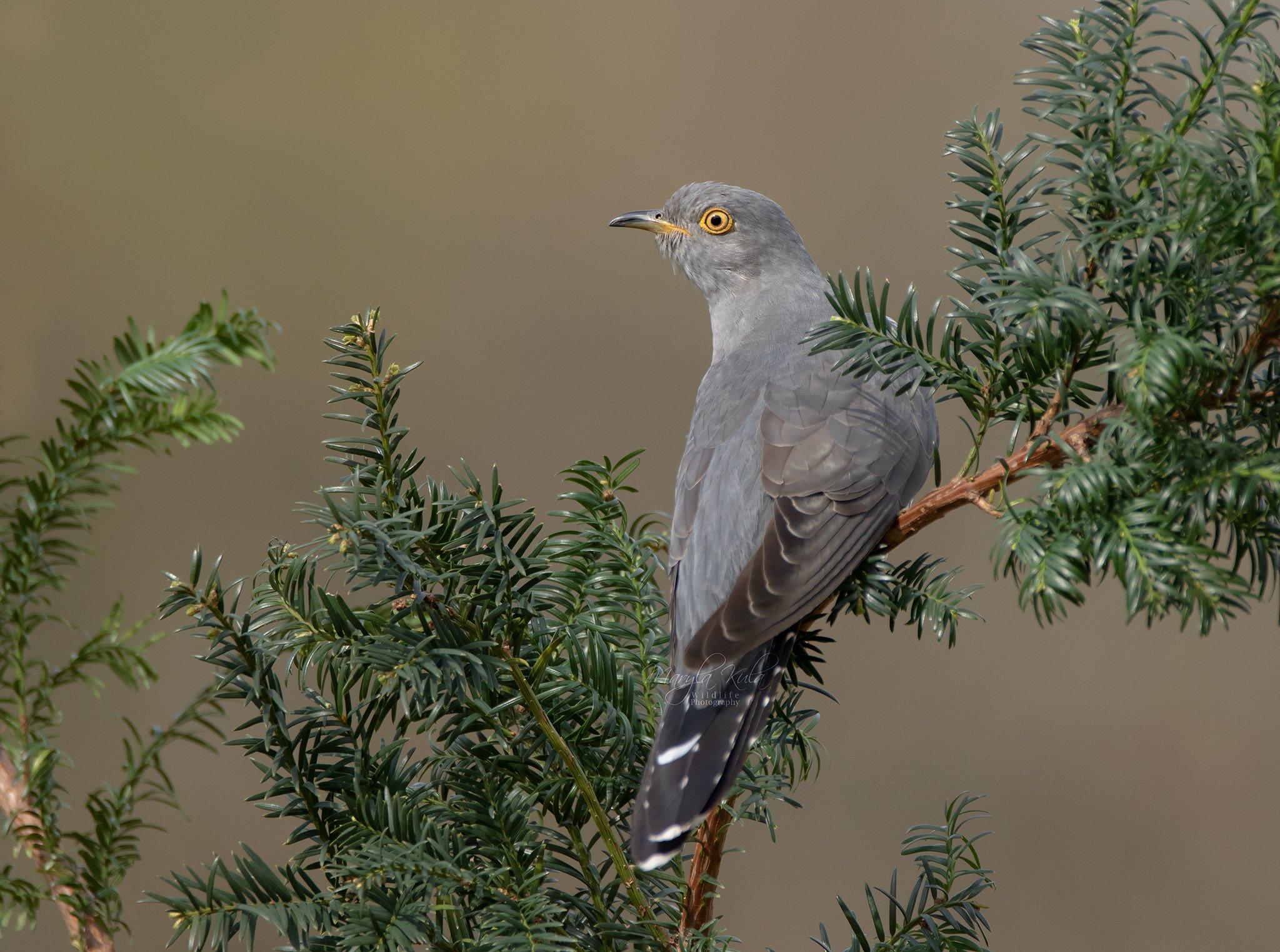 cuckoo, birds, animals, nature, wildlife, canon, canon 100-400, MARIA KULA
