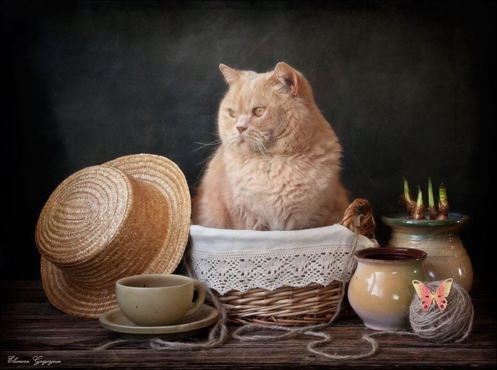 британский короткошерстный, весна, кот, натюркотики, ожидание, соломенная шляпа, Eleonora Grigorjeva