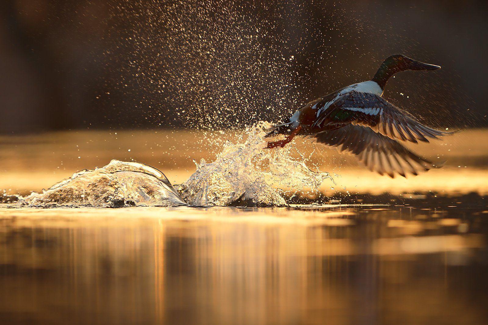 bird photography, northern shoveler, wildlife, утка, широконоска, Radoslav Tsvetkov