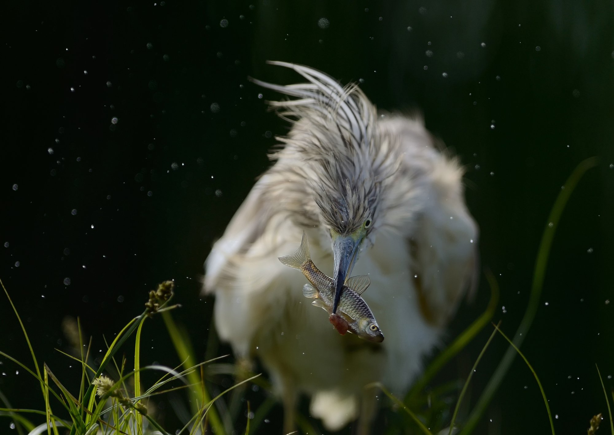 Heron, Жёлтая цапля, Radoslav Tsvetkov