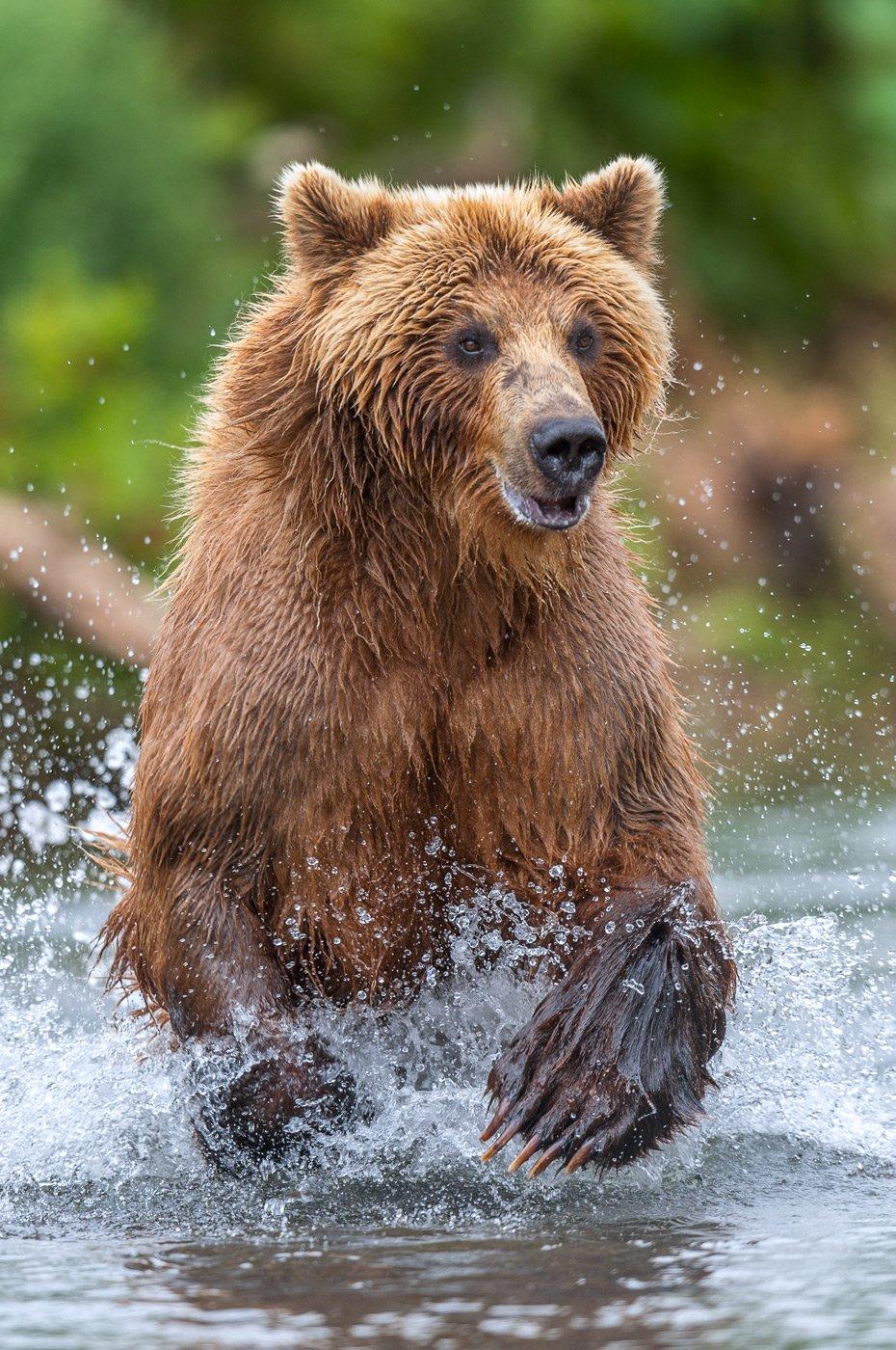 камчатка, бурый медведь, Сергей Иванов