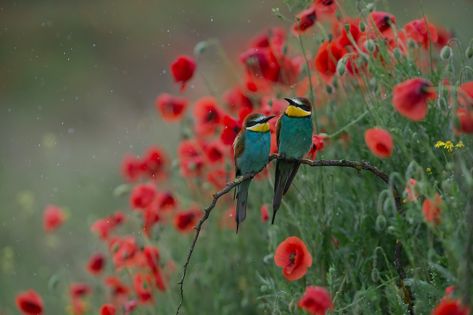 bee-eaters щурки Золотистая щурка , Radoslav Tsvetkov