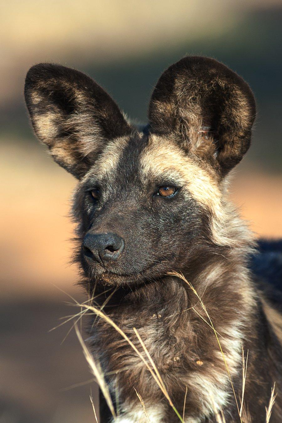 намибия  дикая собака, Сергей Иванов