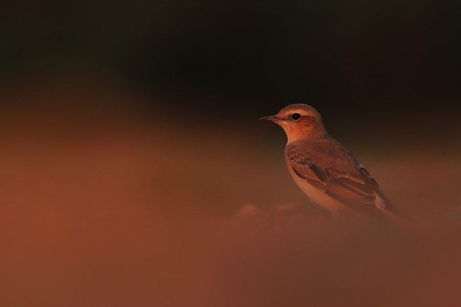 bird,wildlife,nature,red,night,sunset,color,scene,birds,wild,beauty,summer, Piotr Górny