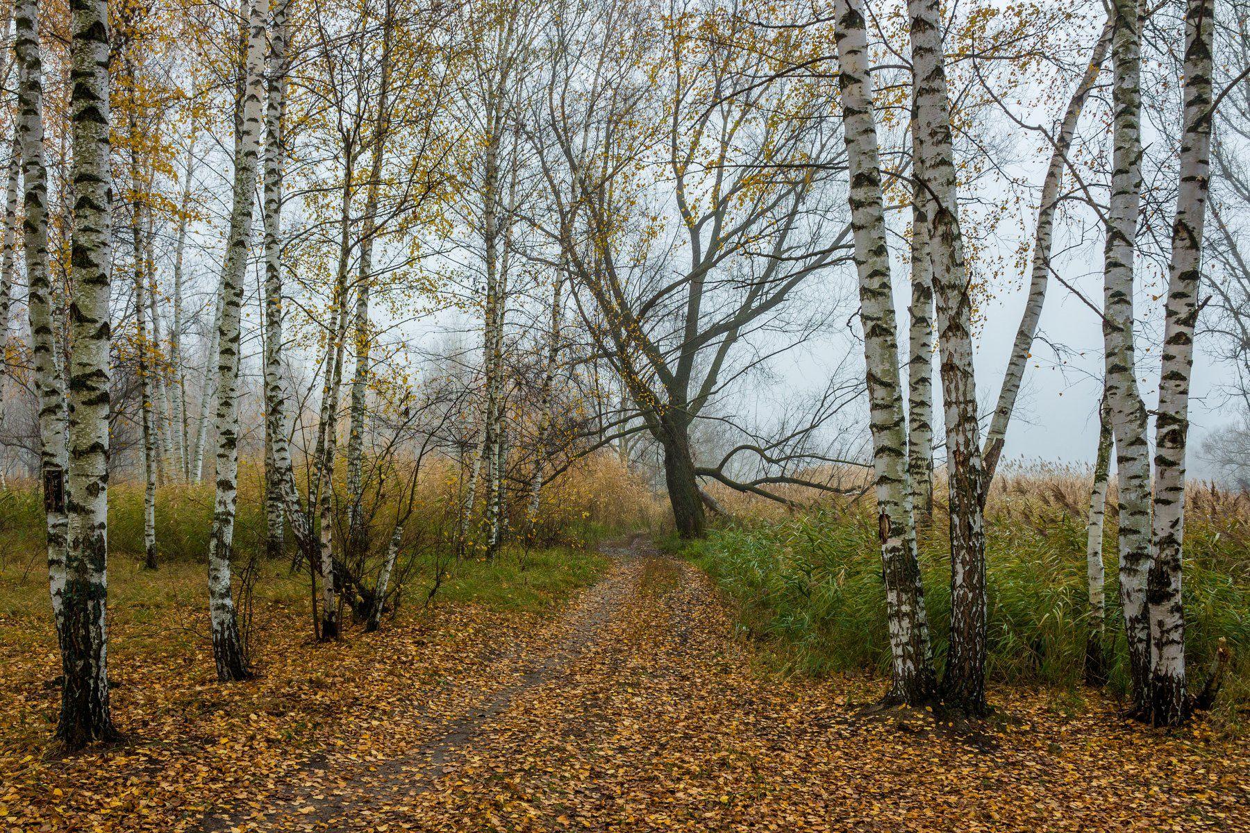 осень, туман, берёзы, Руслан Востриков