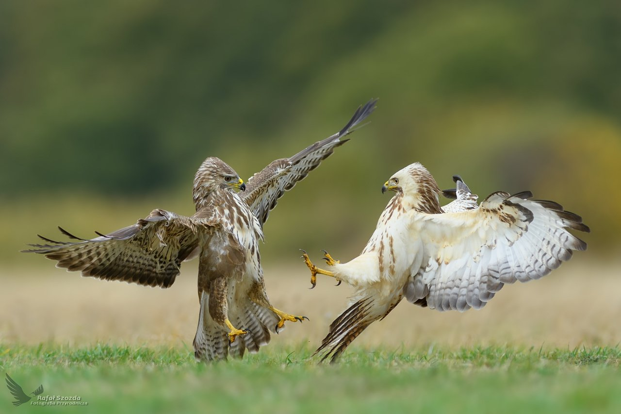birds, nature, animals, wildlife, colors, fight, meadow, autumn, nikon, nikkor, lens, lubuskie, poland, raptors, Rafał