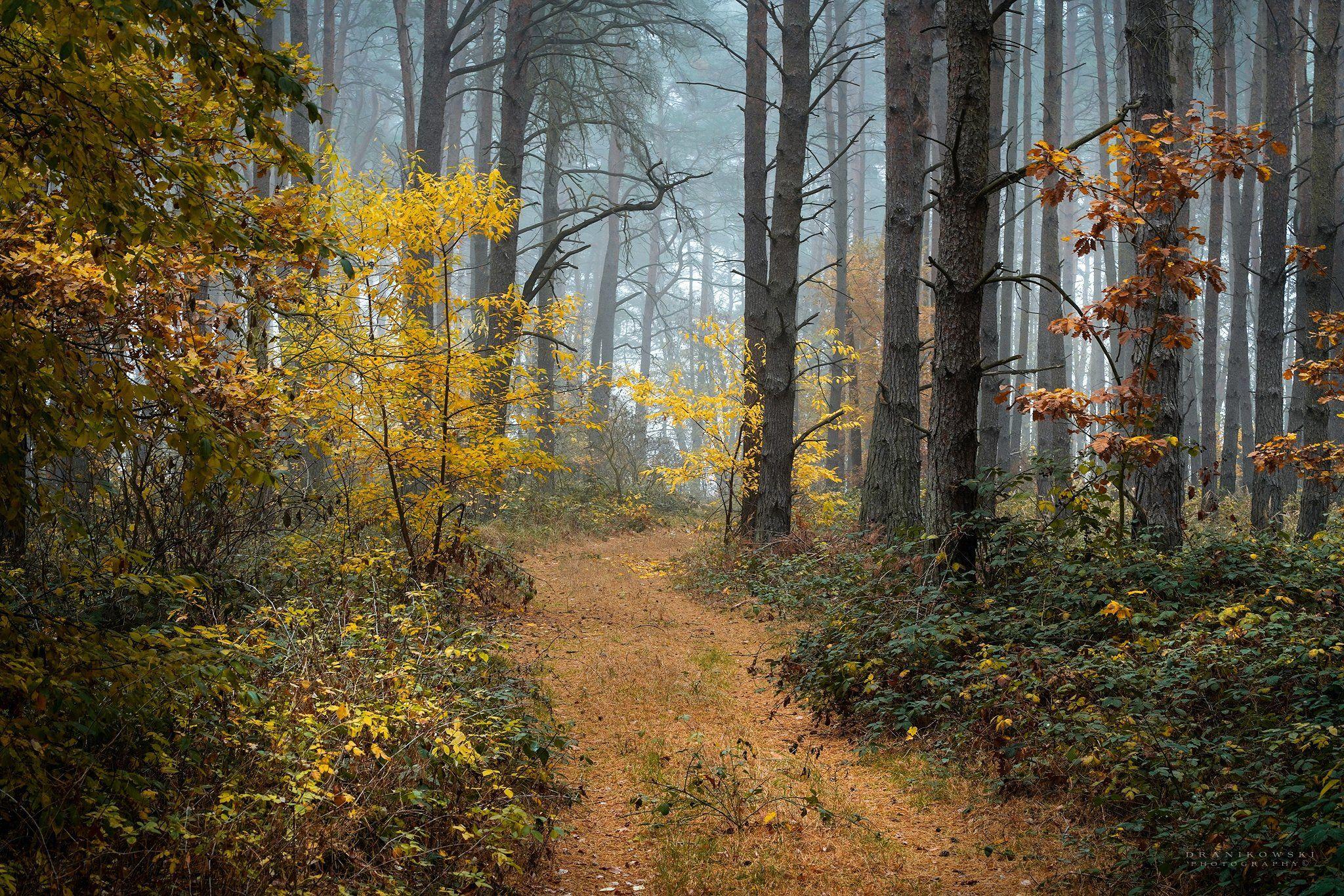 walk forest autumn trees fall magic mist foggy path dranikowski road, Radoslaw Dranikowski