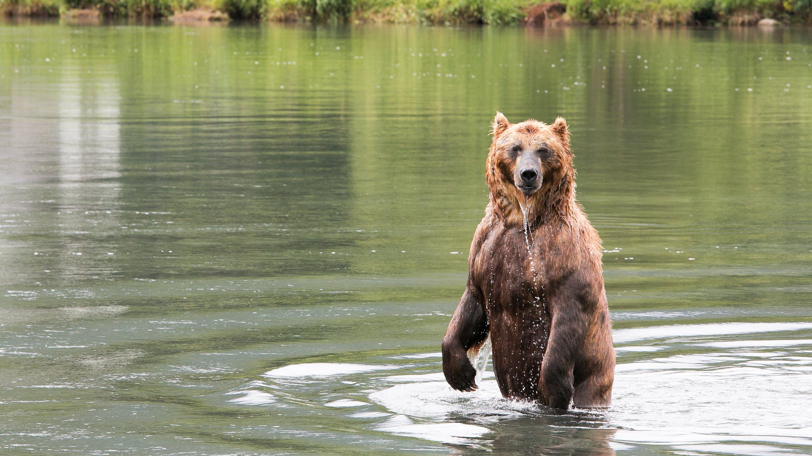 Медведь, камчатка, бурый медведь, курильское озеро, вода, зелёный, Картавцов Артем