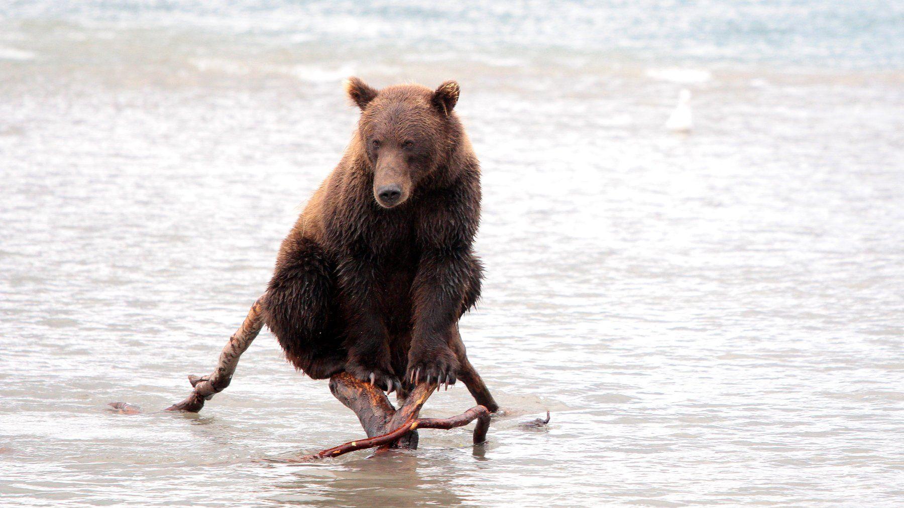 Медведь, камчатка, бурый медведь, курильское озеро, вода, дикая природа, , Картавцов Артем