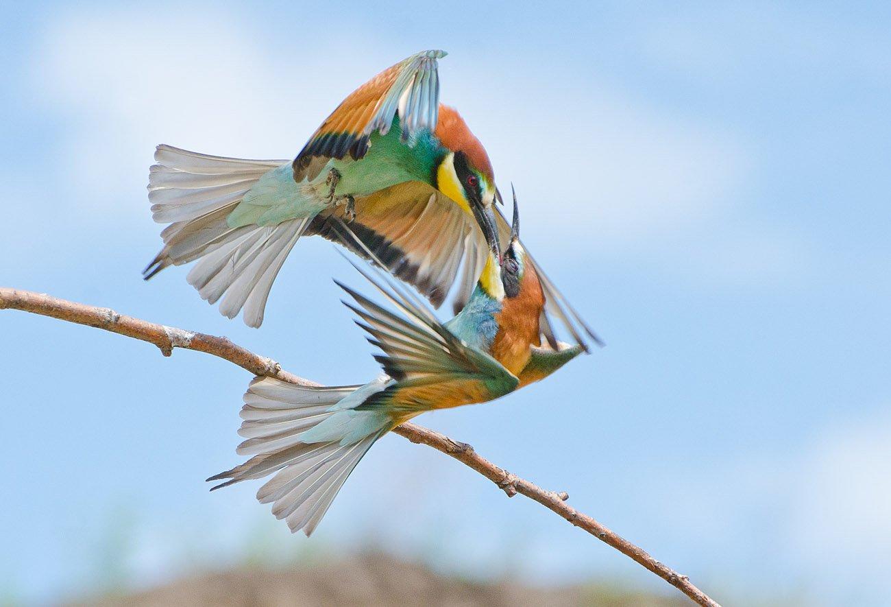золотистые щурки, птицы, Михаил Агеев