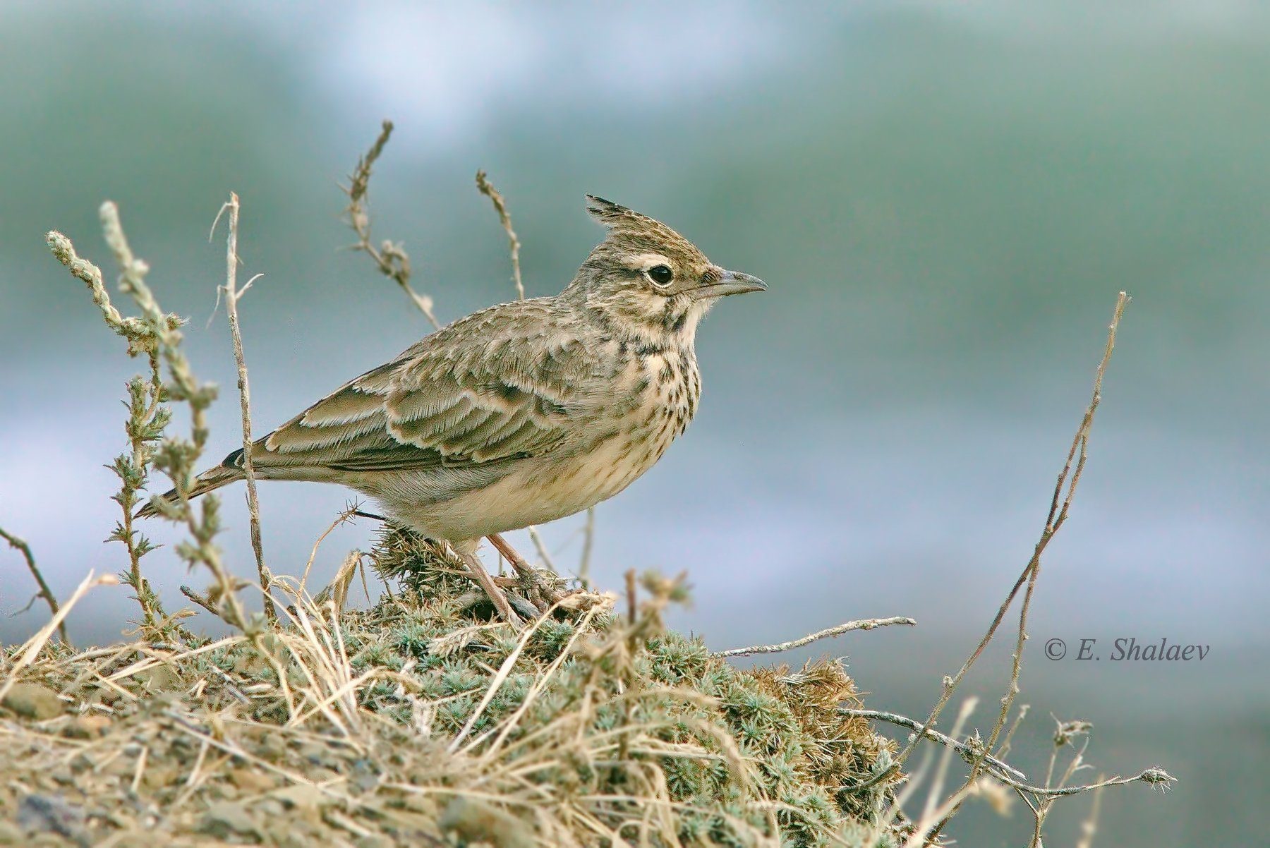 birds, хохлатый жаворонок,птица,птицы,фотоохота,galerida cristata, Евгений