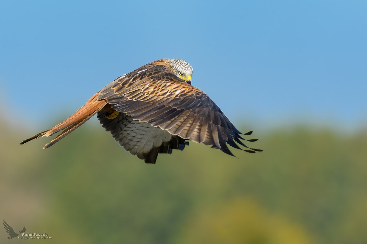 red kite, birds, nature, animals, wildlife, colors, meadow, sky, flight, nikon, nikkor, lens, lubuskie, poland, Rafał