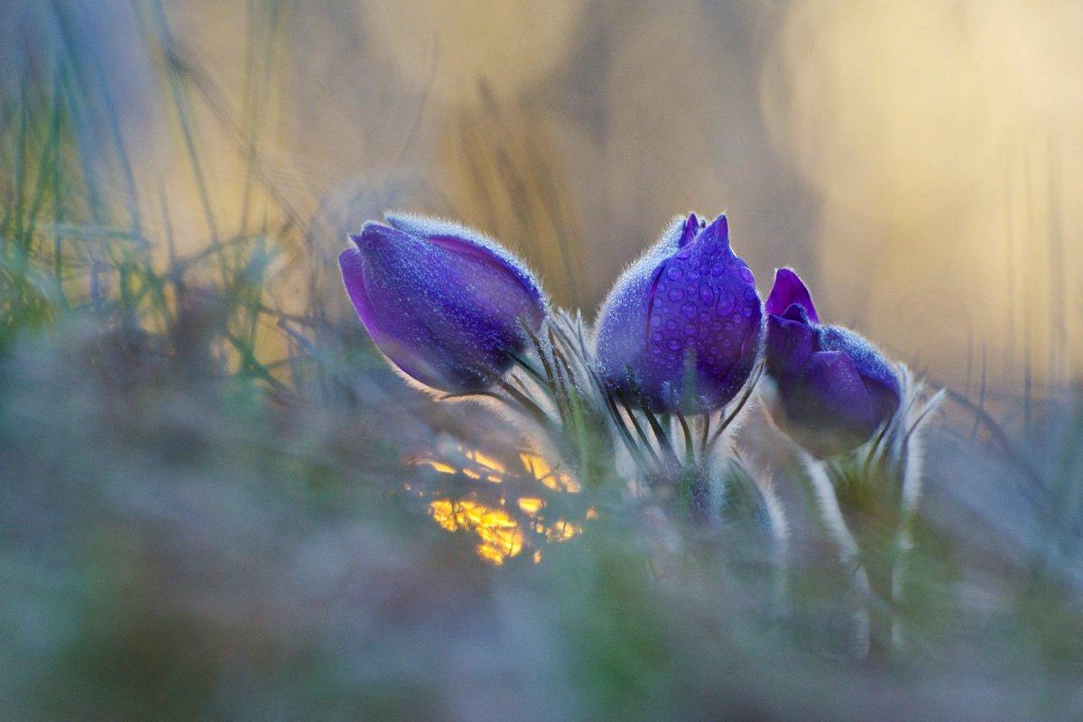 сон - трава, прострел, весна, Михаил Агеев
