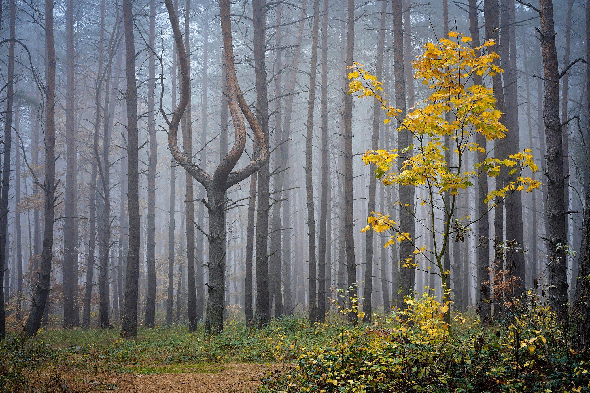 queen forest magic tree mysterious tree dranikowski trees pine foggy mist las, Radoslaw Dranikowski