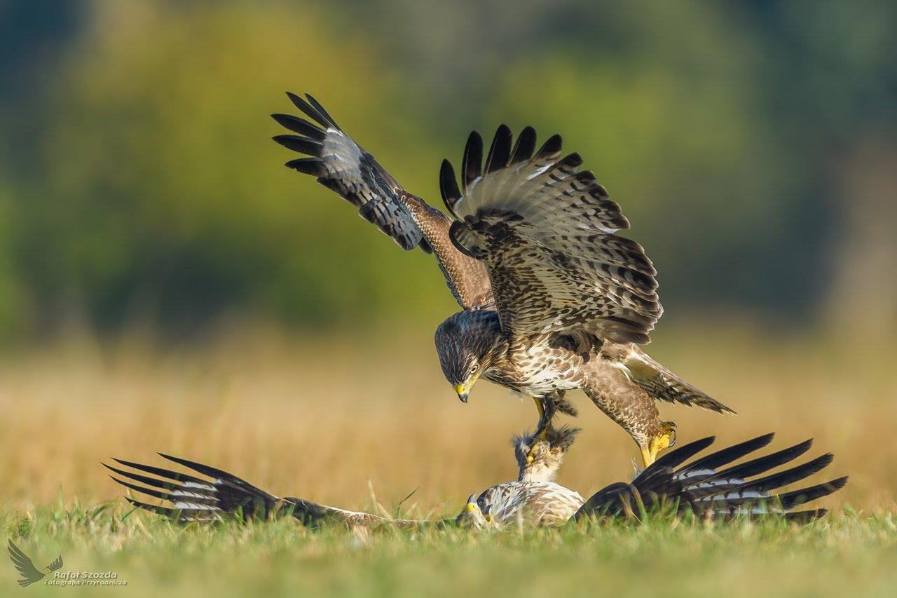 birds, nature, animals, wildlife, photo, colors, medaow, fight, nikon, nikkor, lens, lubuskie, poland, Rafał
