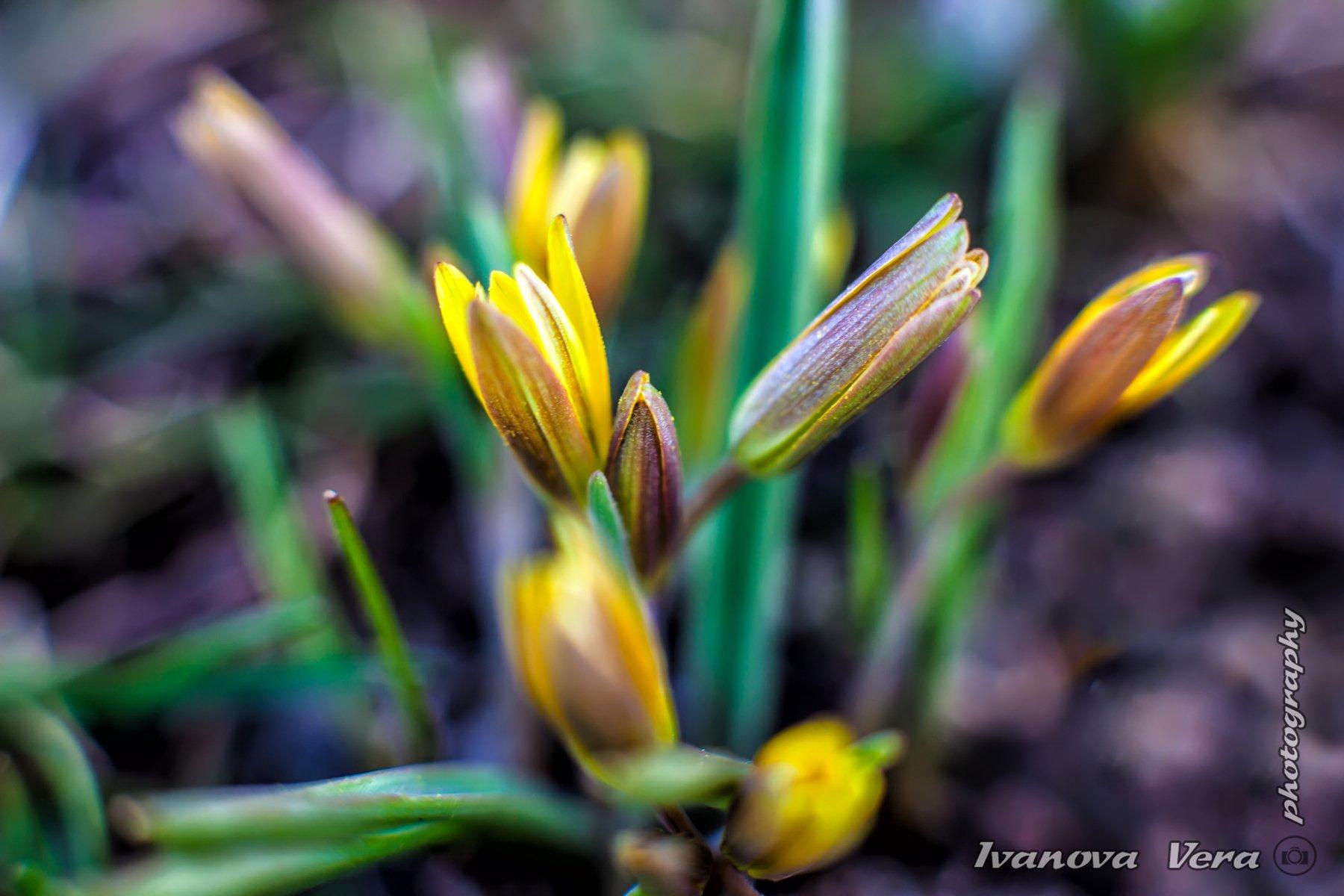 пейзаж,  природа, цветы, подснежник, фотограф, Алматы, фотограф алматы, весна, красота,   awesome, amazing,, photographer, beauty, Вера Иванова