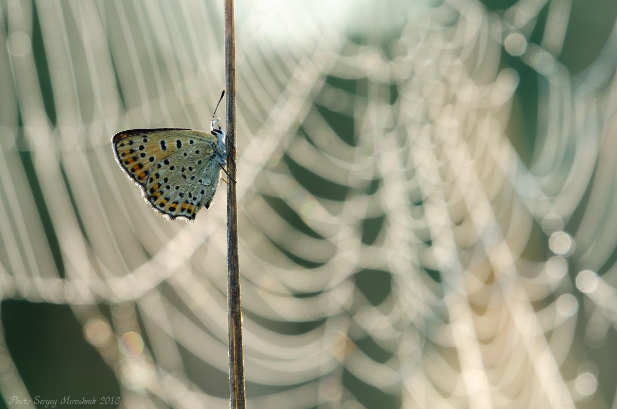 макро, боабочка, лето, красиво, насекомое, утро, паутина, украина, Сергій Мірошник