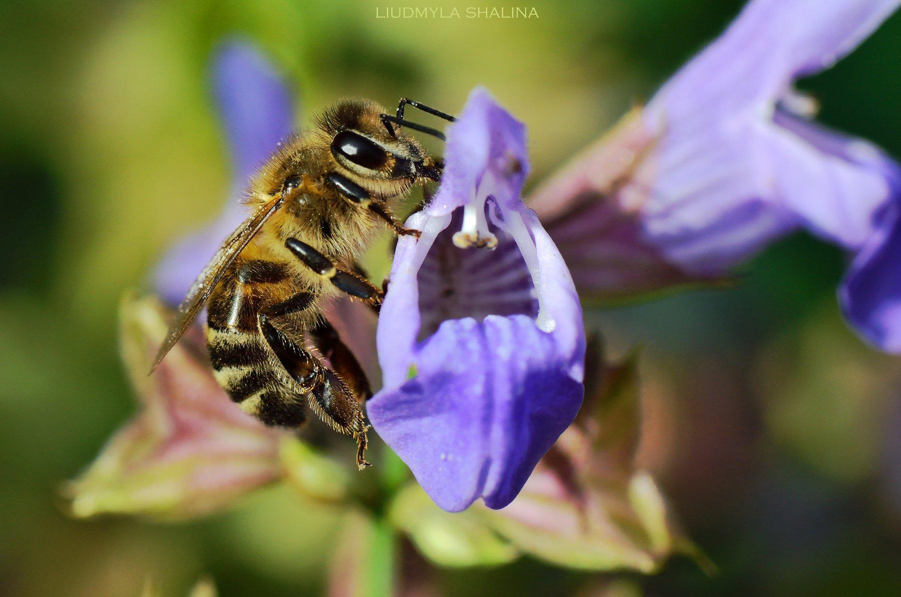 пчела , цветок , шалфей , мед , лето, Шалина Людмила