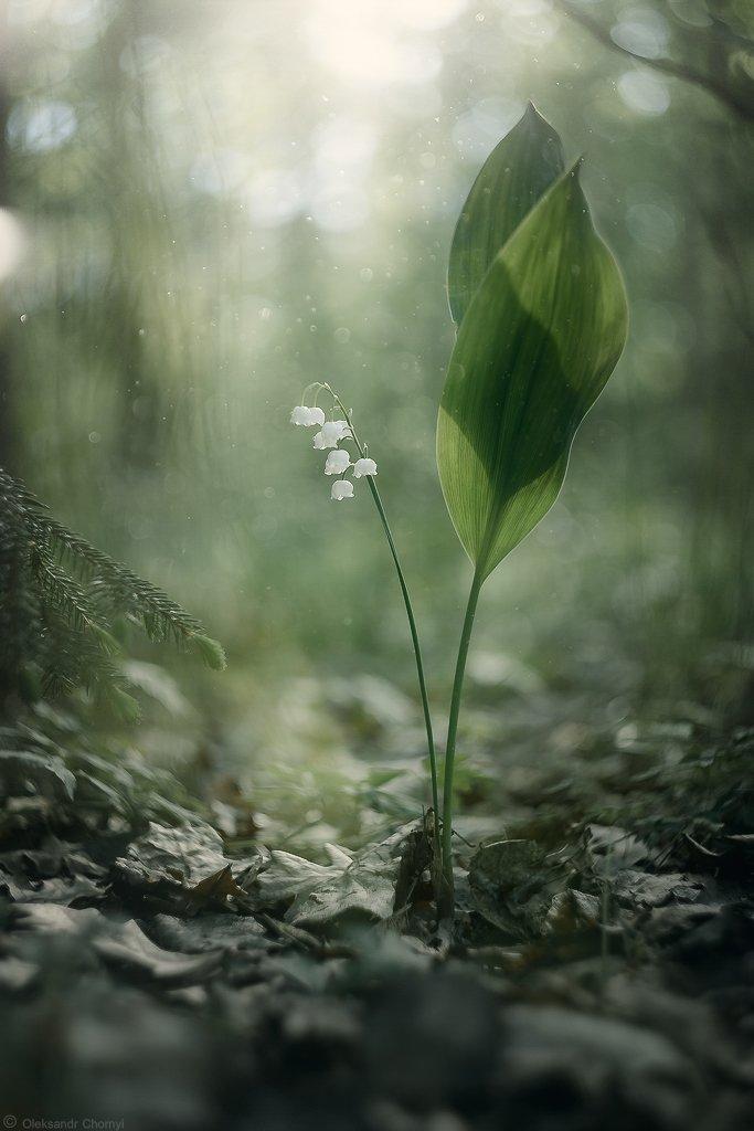 боке, вдохновение, волшебство,гармония, гелиос,жизнь, ландыши, лес, любовь, магия,макро, надежда, нежность, свет, тишина, украина, цветы, коростышев, макро мир, макро красота,макро истории, Александр Чорный