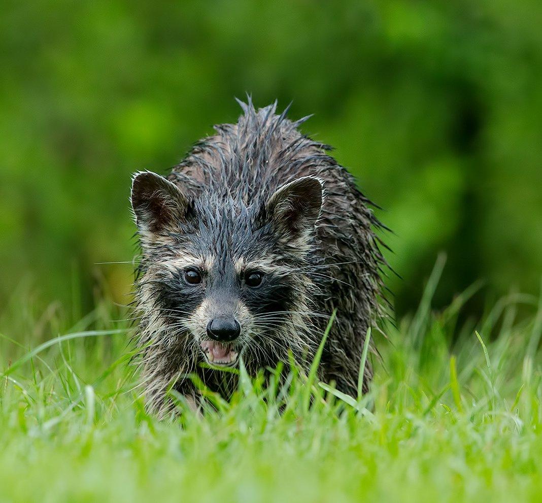 raccoon,енот обыкновенный, енот-полоскун, raccoon, енот, Elizabeth E