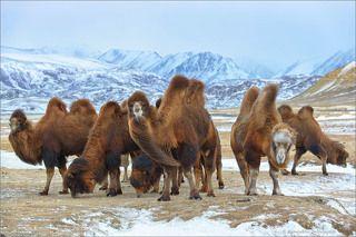 На самом деле верблюды полудикие, пасутся сами по себе. Их ареал обитания ограничен крутыми склонами долины. Единственный выход из долины закрывает посёлок Белтир.