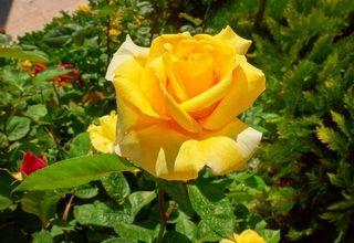 Желтые розы Тегерана