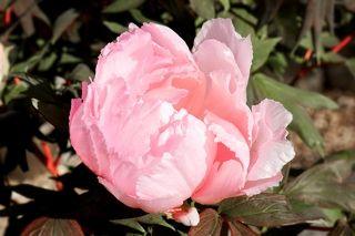 Розовое облако японских пионов.