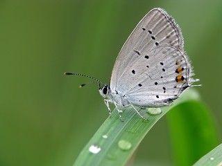 Голубянка короткохвостая