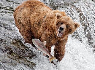 Возвращался кум Горбуша из дальних странствий, из глубин бездонных, из-за тридевять морей. Шел дорогой длинную в края родные. Но не тут-то было - на дороге злыднем встал кум Медведь ( Етить его через коромысло). И оторвал кум Медведь куму Горбуше головушку его красную - безвинную. А мораль той басни такова: те, кто честно горбатится, того Фэйсконтроль вычислит, застопорит и изничтожит почем зря... Здесь и сказке конец... ( Как-то так... :) _____________ \