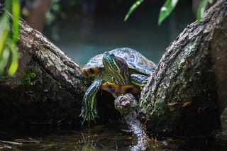 Красноухая черепаха ...