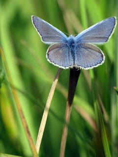 бабочка Голубянка Икар
