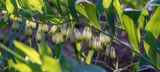 02 Её достаточно крупные белые цветы, по форме напоминающие удлиненные бутоны ландыша, эффектно свисают вниз с сильно наклонённых побегов растения
