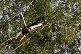 В момент взлета орлан смотрится наиболее грозно. Река Челомджа, Магаданский заповедник.
