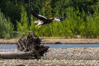 Некоторые орланы не боялись даже шума моторной лодки, а вот человека к себе подпускали все-таки с трудом. Река Челомджа, Магаданский заповедник.