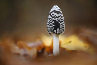 Навозник Дятловый (Coprinopsis picacea)