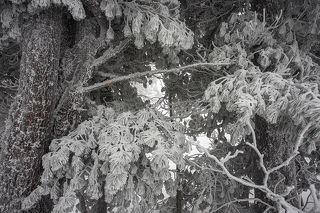 01 Сибиские кедры на редкость фотогеничны даже сами по себе, ...